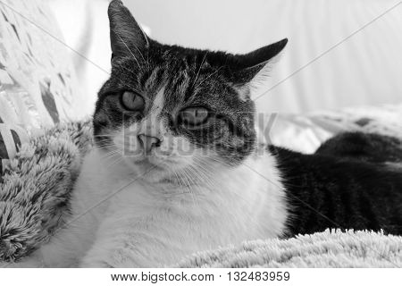 THE BLACK AND WHITE  CAT LENGTHENED ON ITS COVER