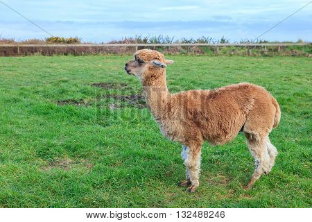 close up shot of brown alpaca in green field