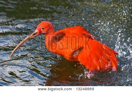 Scarlet Ibis Taking A Bath