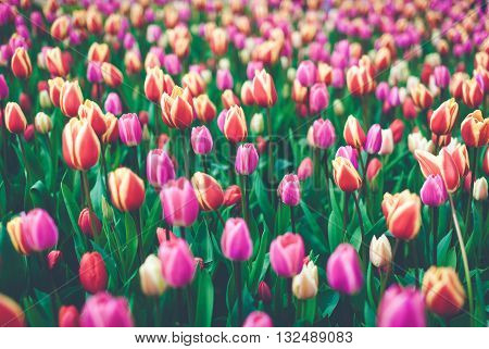 Tulips. Beautiful Multicolored Flowers In Spring Park, Floral Background
