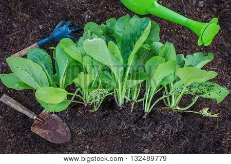 fresh green vegetable leaves with gardening tool in home garden farm use for natural clean food and leisure activities