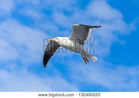Great Black-backed Gull. White Seagull Flying