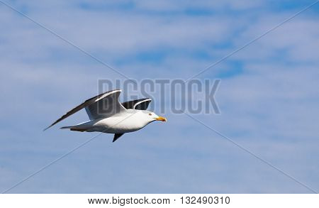 Big White Seagull In Cloudy Sky