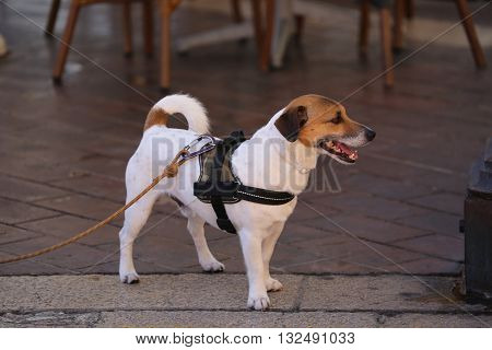 Jack Russell Terrier Wearing Harness in Nice France