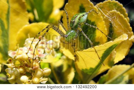 Green Lynx spider with prickly legs on green and yellow flowering plant up close.