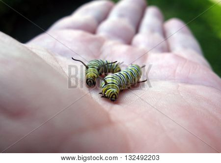 Two monarch butterfly larvae on human hand that appear to be racing.
