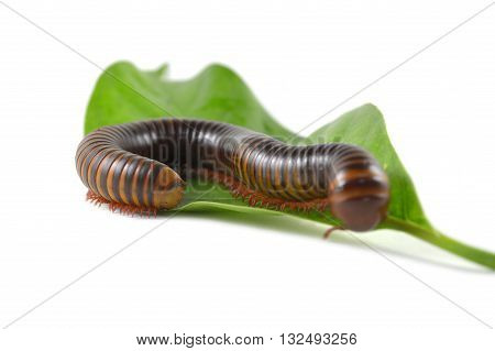 Millipede from central of Thailand on white background