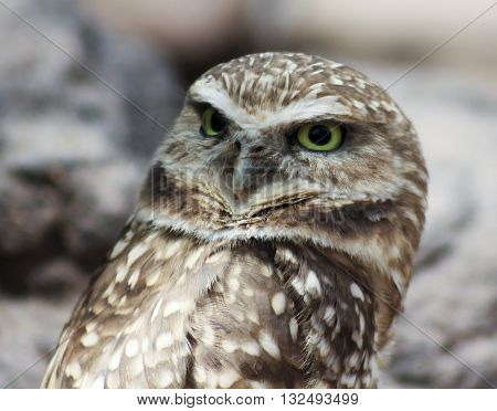 A Close Up Portrait of a Burrowing Owl Athene cunicularia