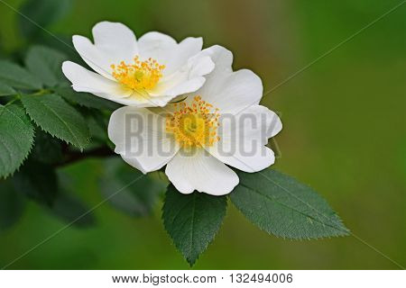 Dog rose shrub branch with white flowers.