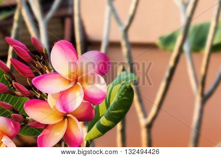 Beautiful Sweet White And Pink Yellow Flower Plumeria Bunch In Home Garden With  Happy Morning Mood
