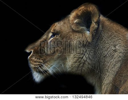 closeup of lioness head on black background