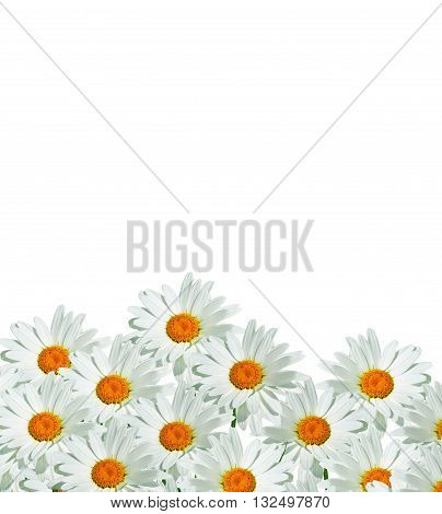 daisies summer white flower isolated on white background. White flowers