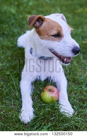Jack Parson Russell Terrier puppy dog pet, tan rough coated, outdoors in park while laying on green grass lawn and playing with apple toy