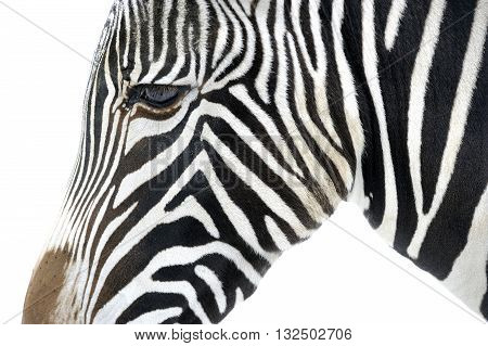 Close up of a zebra. Detail view of head