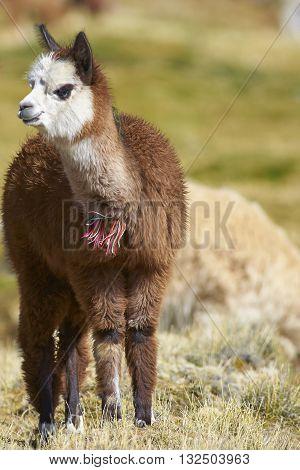 Baby Alpaca (Lama pacos) grazing on a wetland in Lauca National Park, northern Chile.