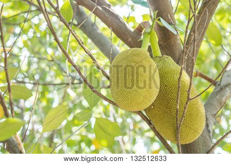 Closeup two jackfruits at tree in orchard