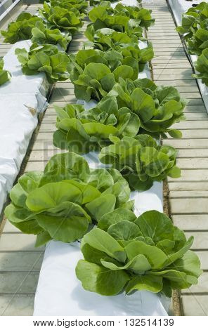 Hydroponic Cultivation of Green Lettuce