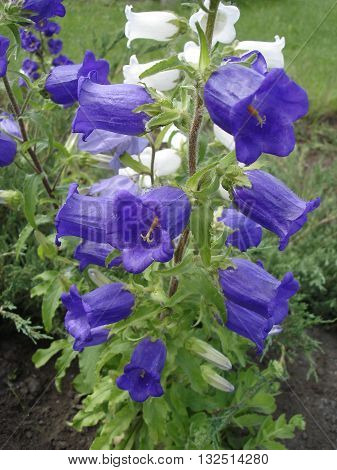 Campanula (bellflower) blue and white flowers .