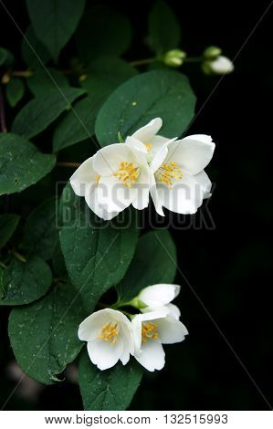 White disclosed Philadelphus flowers on the bush