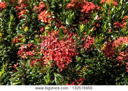 View of a bush of red Exora flowers, Oahu, Hawaii