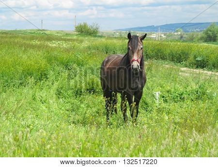 Black Horse On A Green Meadow In Spring Day