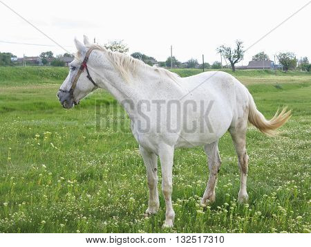 White Horse On A Green Meadow In Summer Day