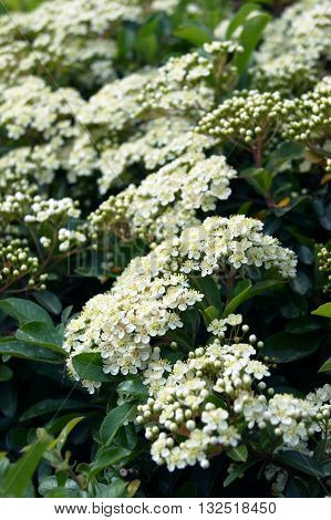 Luxuriantly blooming green fence of Pyracantha bushes