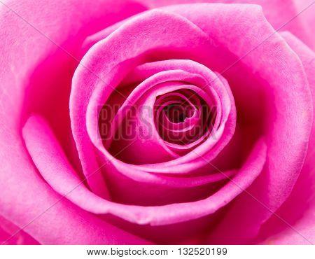 nature Beautiful pink rose flower, cream closeup