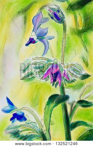 Original pen and ink and pastel painting of Borage flowers. (Borago officinalis). Vertical.