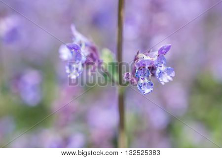 Nepeta cataria or catmint flowers in a garden in Voorschoten, Netherlands.