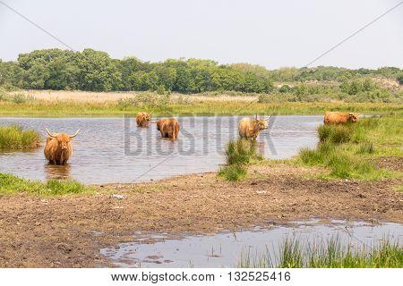 Scottish highlanders in nature Lentevreugd Wassenaar Netherlands.