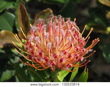 Protea, Kirstenbosch Botanical Gardens,  Cape Town South Africa 20