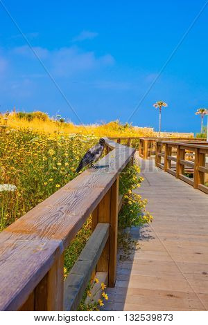 Raven sitting on railing. Wooden walkway with handrails among flowering meadows