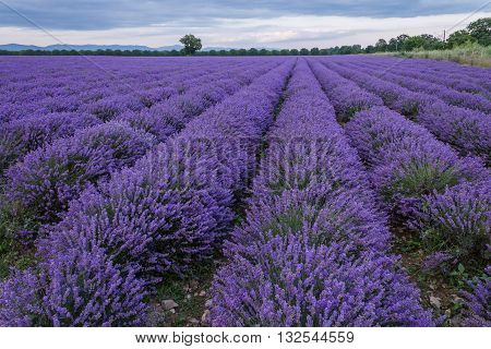 Harvesting Lavender Flowers