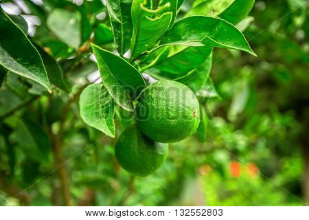 Lime tree with fruit