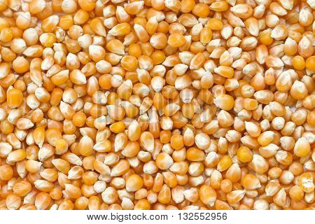Close up of corn grains. Whole background. Corn seeds background.