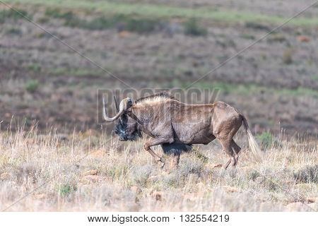 A black wildebeest Connochaetes gnou also called a white-tailed gnu walking in the Eastern Cape Karoo Region