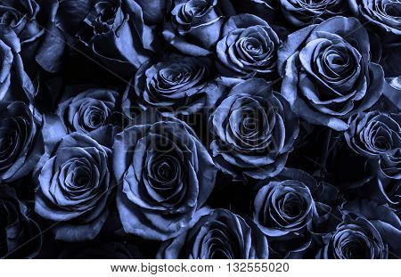 dark blue roses background. natura roses background. greeting card with a luxury roses.