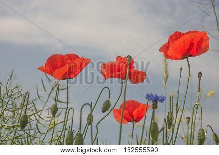poppy flowers (Papaver rhoeas) against the blue sky