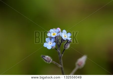 A water forget-me-not or true forget-me-not (Myosotis scorpioides).
