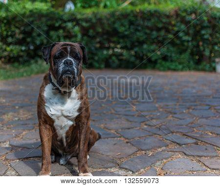 German Boxer Dog In A Garden