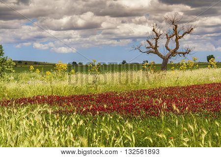 SPRINGTIME. Alta Murgia National Park: field of purple flowers.( Apulia) ITALY.