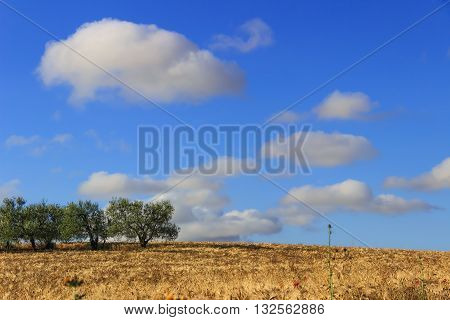 Between Apulia and Basilicata.Hilly landscape with cornfields.ITALY.Summer: rural landscape .Olive grove in a whe