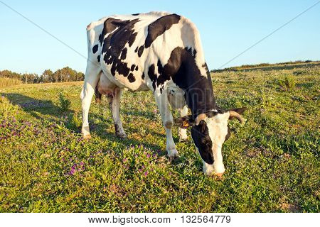 Cow is grazing in the countryside from Portugal