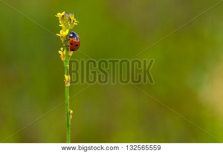 A ladybug perching on the top of a weed