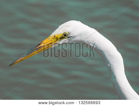 Great Egret - Ardea alba, headshot. Close head shot of great white egret posing in san francisco bay area wetland and isolated against water background.