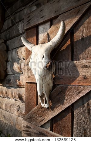 White bull skull hanging on a farm wooden barn wall. Dead animal head decoration of a western style bar