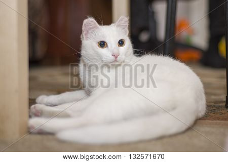 Beautiful white cat lying under the table. The cat is resting.