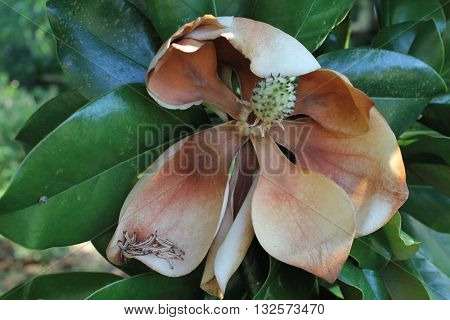 Southern Grandiflora Magnolia bloom at the end of its life cycle