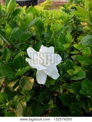 White of Jasmin flower in the garden